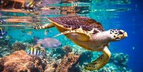 turtle fiji2
