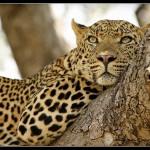 chitwa-leopard