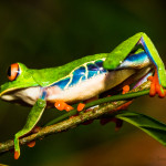ellie-stone-red-eyed-tree-frog