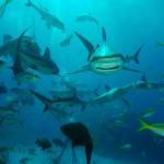 shark-feed-vhd-5