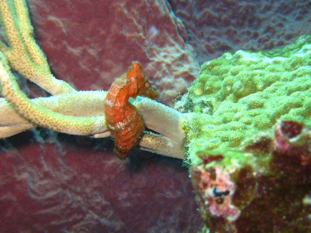 Seahorse in St Lucia